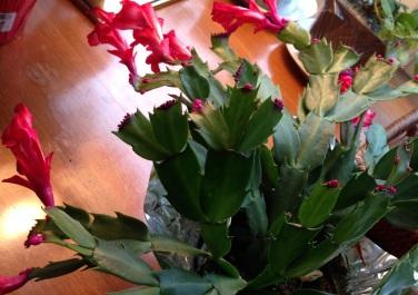 Christmas cactus for blog_IMG_0957